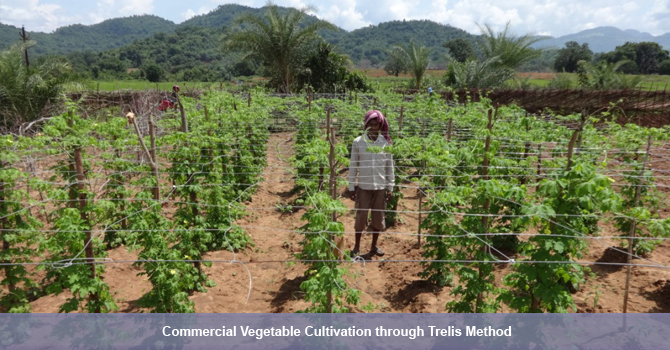 Commercial vegetable cultivation through trelis method