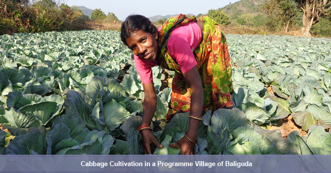 OTELP introduced vegetable cultivation for the first time in many tribal villages. One of the OTELP supported farmers in his cabbage field