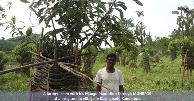A farmer  seen with his Mango Plantation through MGNREGS at a programem village in Daringbadi, Kandhamal